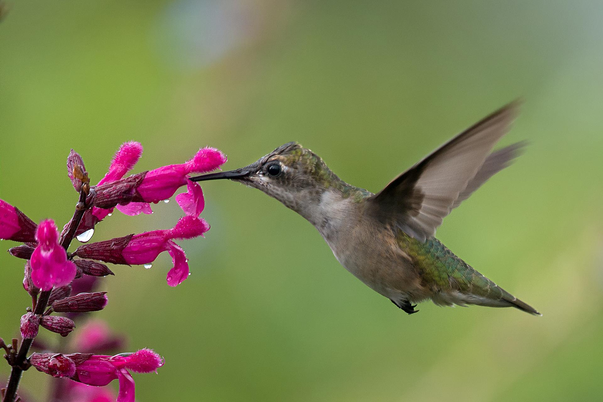 Fotografia przedstawia różowe kwiaty na sczycie łodygi. Po lewej stronie wpowietrzu zawisł koliber. Koliber wkłada dziób do wnętrza jednego zrurkowatych kwiatów.