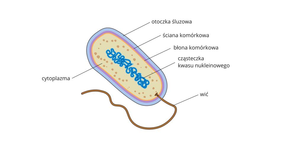 """Ilustracja przedstawia komórkę bakterii, która ma owalny kształt ibrązowy """"ogonek"""", czyli wić. Części komórki bakterii oznaczono różnymi kolorami. Od zewnątrz błękitna otoczka śluzowa, pod nią liliowa ściana komórkowa ipomarańczowa błona komórkowa. Cytoplazmę we wnętrzu komórki ukazano wkolorze beżowym zciemniejszymi grudkami. Wśrodku komórki przedstawiono cząsteczkę kwasu nukleinowego wpostaci splątanej nici wkolorze szafirowym."""