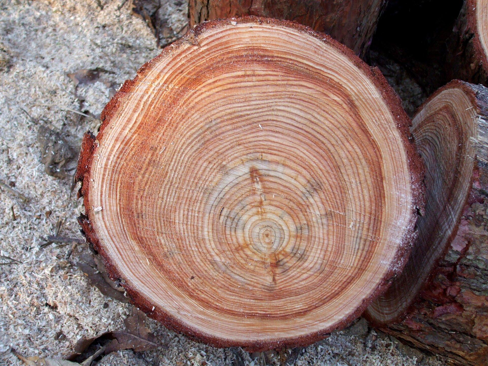 Fotografia przedstawia przecięty poziomo pień drzewa. Są nam nim koncentryczne kręgi różnej szerokości, wjaśniejszym iciemniejszym odcieniu. To słoje przyrostu rocznego.