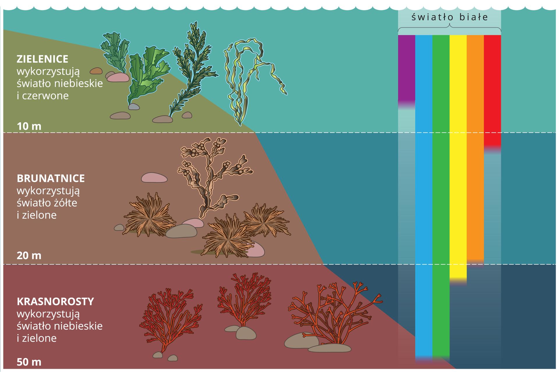 Ilustracja przedstawia zbocze wmorzu. Jest podzielone na trzy poziome pasy wróżnych kolorach, oznaczające różną głębokość: 10, 20 i50 metrów. Na morskim zboczu wpasach ukazano glony, rosnące na danej głębokości. Od góry są to: zielenice, brunatnice ikrasnorosty na coraz ciemniejszym tle. Po prawej znajdują się kolorowe pionowe paski, obrazujące rozszczepienie światła białego na części składowe. Paski sięgają do różnych głębokości. Podpisy od góry: zielenice wykorzystują światło niebieskie iczerwone. Brunatnice wykorzystują światło żółte izielone. Krasnorosty wykorzystują światło niebieskie izielone.