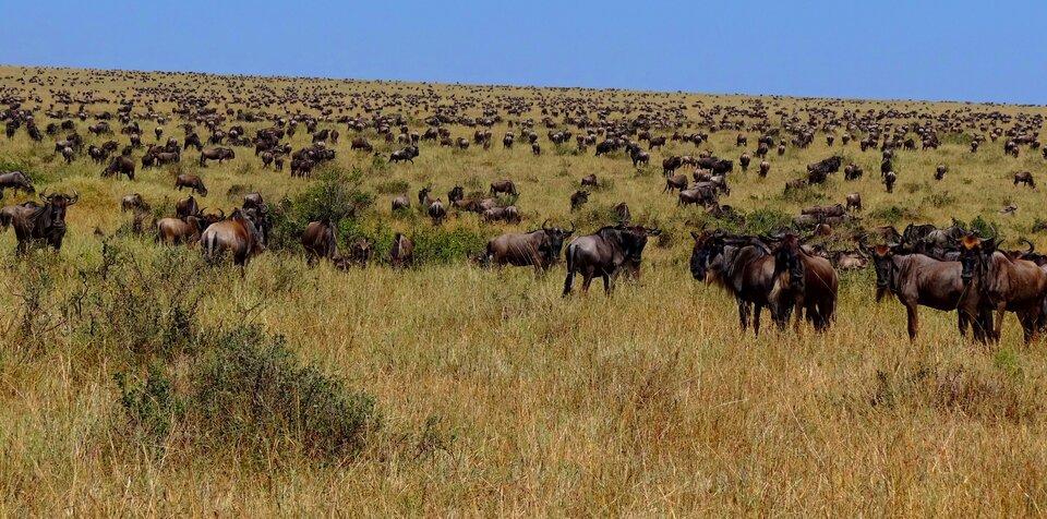 Trawiaste sawanny to idealne pastwiska naturalne dla zwierząt roślinożernych