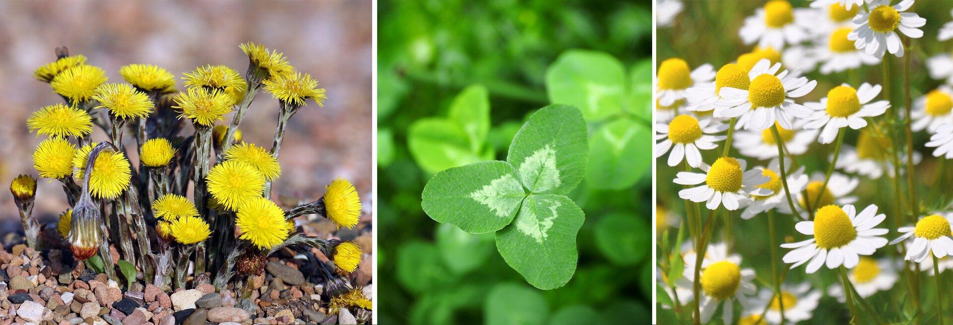 Drugi kadr galerii Ilustracja składa się ztrzech zdjęć przedstawiających trzy różne rodzaje roślin wskaźnikowych. Po lewej stronie rosnący na kamiennym podłożu ikwitnący żółtymi kwiatami podbiał, pośrodku zbliżenie trójlistnej koniczyny, apo prawej białe kwiaty rumianku zżółtymi środkami.