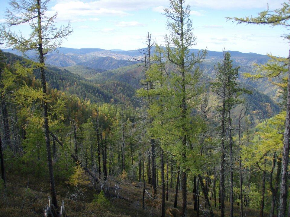 Na zdjęciu na pierwszym planie las iglasty na stoku górskim. Więcej drzew niższych, niewiele wysokich. Wtle góry pokryte lasami.