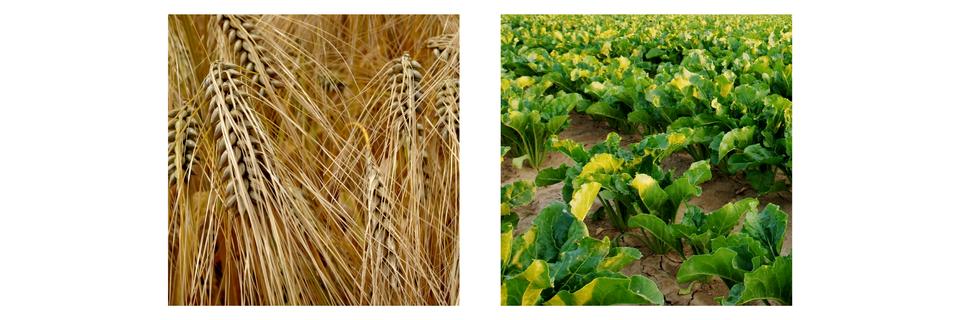 Wśród roślin uprawnych odpornymi na zakwaszenie gleby są: żyto (pH 4,8–7,0), ziemniaki (5,5–6,0) iowies (4,5–7,2) (A), do mało odpornych należą jęczmień (pH 6,8–6,0) iburaki cukrowe (6,0–7,5) (B)