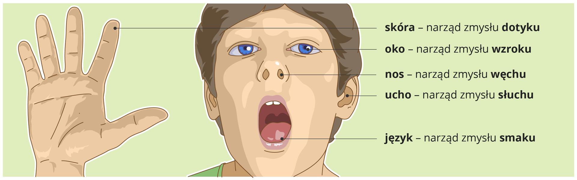 Na ilustracji znajduje się chłopiec. Na jego ciele zostały zaznaczone narządy zmysłów, które służą do odbierania wrażeń. Człowiek ma pięć takich narządów. Cztery znich umieszczone są na głowie, anarząd dotyku, którym jest skóra, okrywa całe ciało człowieka. Pozostałe to: oko – narząd zmysłu wzroku, nos – narząd zmysłu węchu, ucho – narząd zmysłu słuchu, ijęzyk – narząd zmysłu smaku.