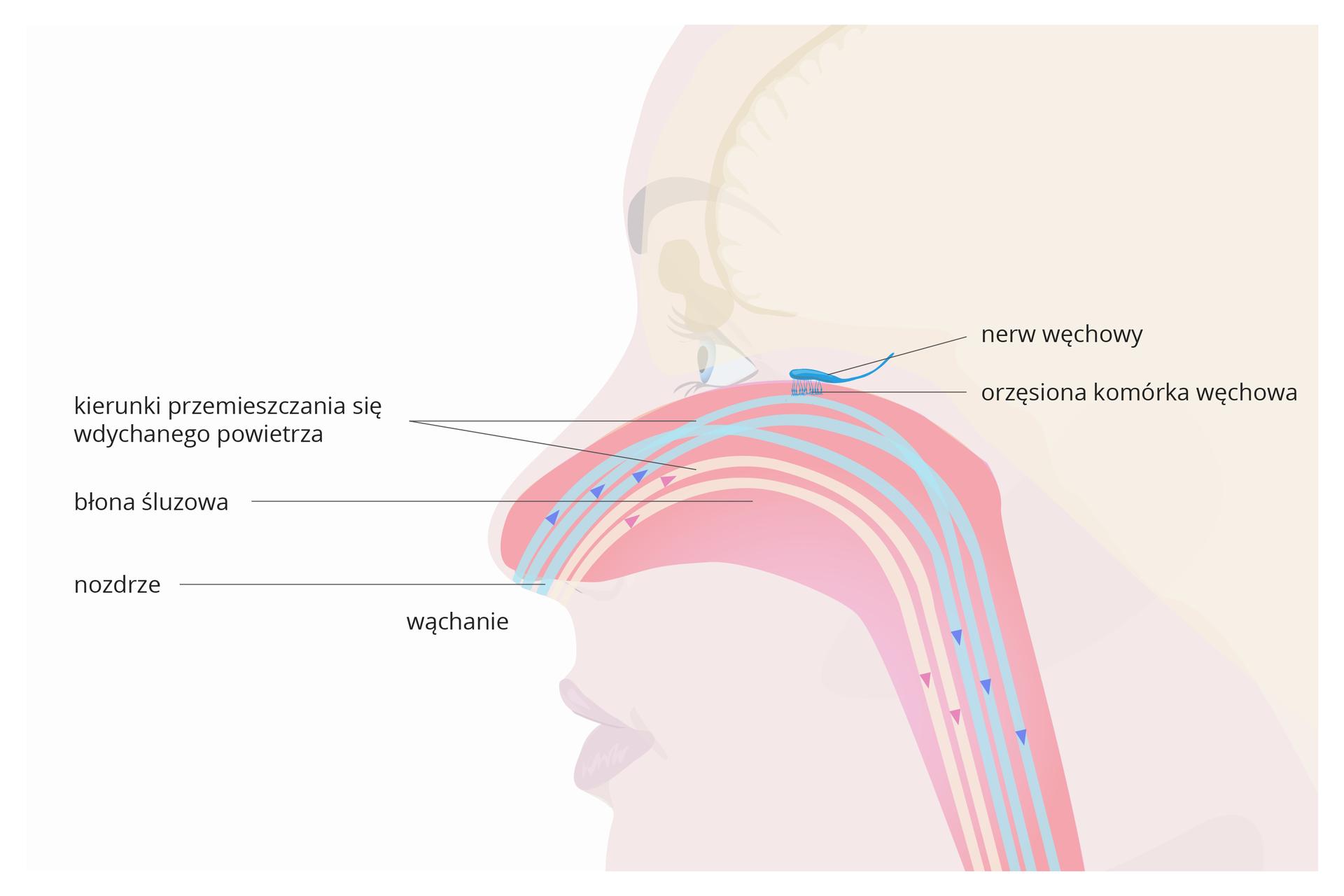 Ilustracja przedstawia delikatną sylwetkę twarzy profilem. Wrysowana różowa jama nosowa, pokryta błoną śluzową. Zlewej przy nozdrzu napis: wąchanie. Niebieskie iróżowe strzałki ipaski oznaczają kierunki przemieszczania się wdychanego powietrza. Ugóry jamy nosowej turkusowy podłużny nerw węchowy iorzęsiona opuszka węchowa.