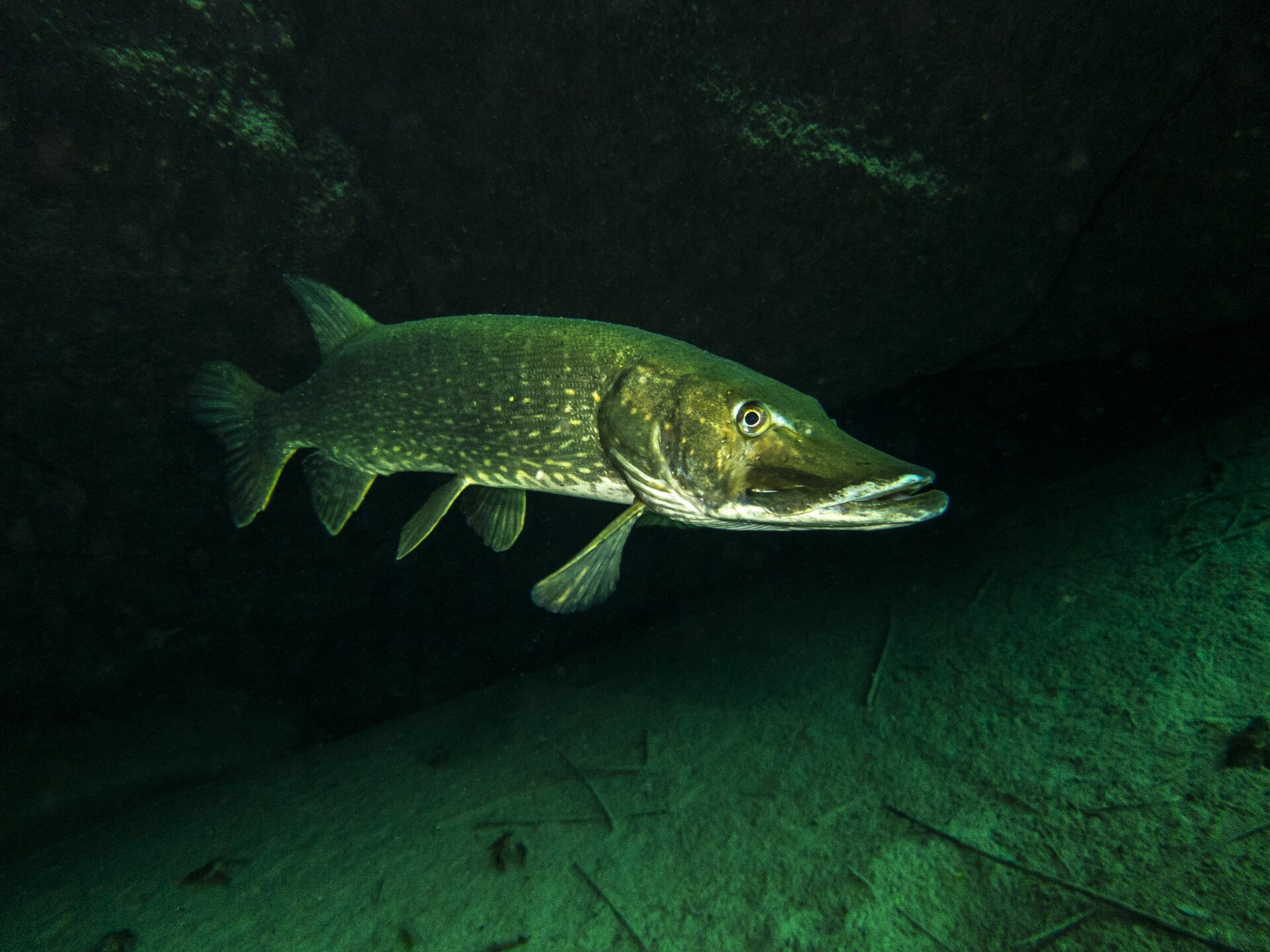 Fotografia przedstawia rybę wwodzie, płynącą wkierunku obserwatora. Jest to ilustracja dużej pojemności cieplnej wody ijej znaczenia dla stworzenia stabilnego środowiska życia organizmów.