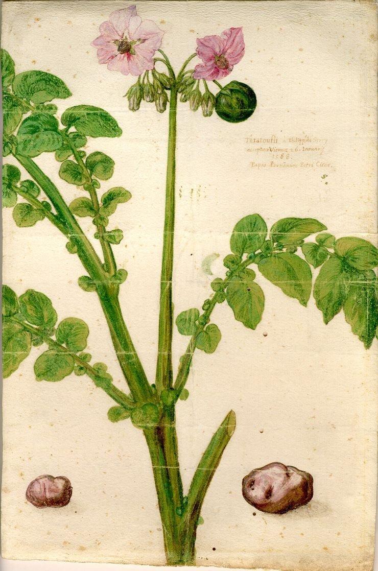 Pierwszy znany opis ziemniaka wEuropie z1588 r., zkolorowanymrysunkiem. Pierwszy znany opis ziemniaka wEuropie z1588 r., zkolorowanymrysunkiem. Źródło: Samuel austin, Wikimedia Commons, licencja: CC BY-SA 3.0.