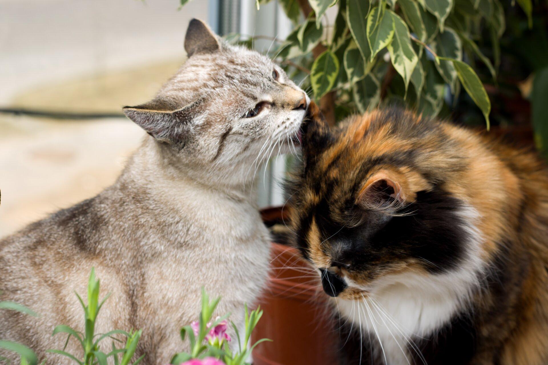 Ilustracja przedstawia dwa koty. Kot po lewej stronie jest szarej maści, apo prawej brązowo-biało-czarny. Przymilają się do siebie.