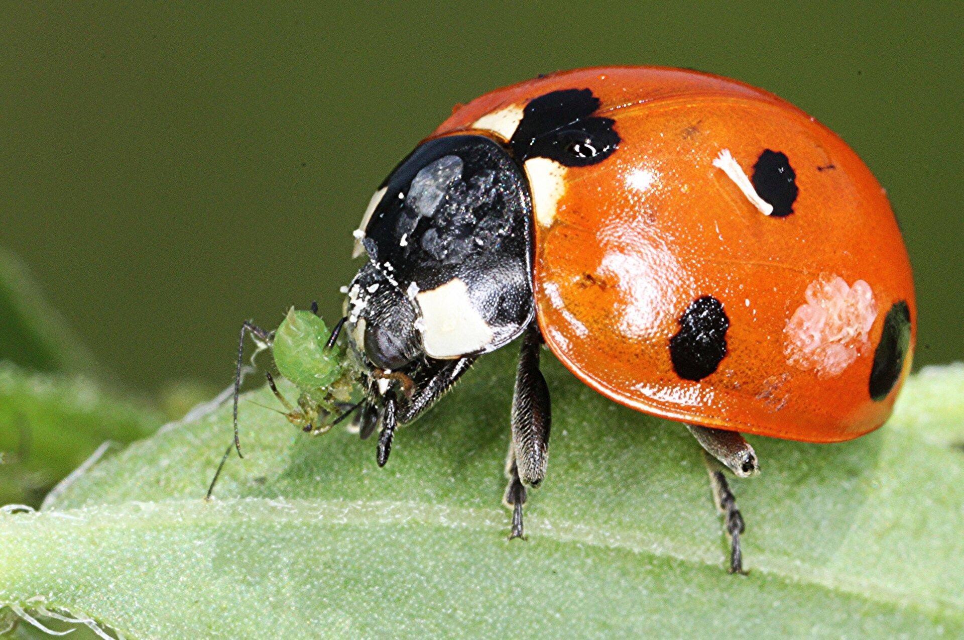Fotografia przedstawia biedronkę, która przednimi odnóżami trzyma mszycę. Biedronka ma obłe ciało. Na czerwonych pokrywach osłaniających większość ciała widać czarne kropki. Przednia część ciała czarna zbiałymi plamami.