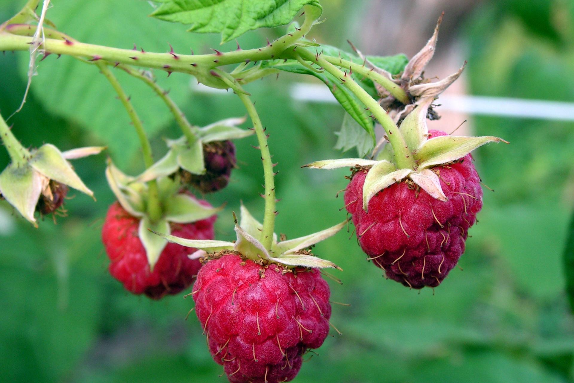 Fotografia przedstawia wzbliżeniu zielony pęd maliny ztrzema dojrzałymi, różowymi owocami. Na pędzie są liczne, drobne fioletowe kolce.