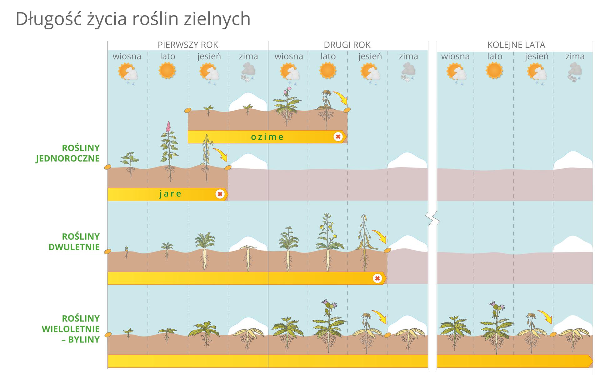 Ilustracja przedstawia różną długość życia roślin zielnych wformie kolorowego diagramu. Wbłękitnych kolumnach ugóry symbolizowane są pory roku wkolejnych latach. Brązowo – pomarańczowe paski oznaczają cykl życiowy roślin, dłuższy lub krótszy. Zlewej od góry na zielono podpisano najpierw rośliny jednoroczne, które na diagramie mają dwa warianty: ozime ijare. Niżej znajduje się pasek roślin dwuletnich. Najniżej przedstawiono cykl życiowy roślin wieloletnich (bylin).