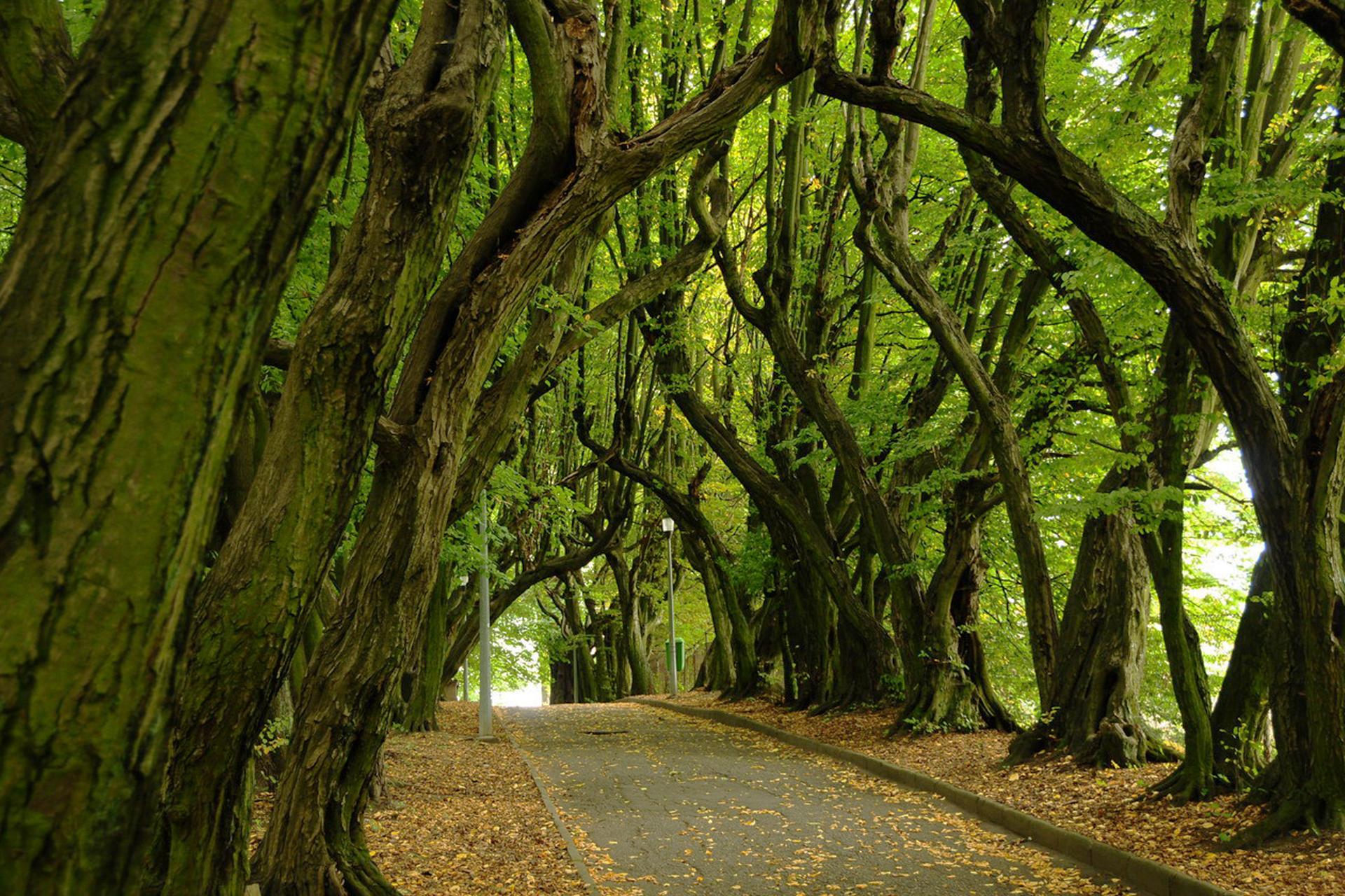 Fotografia przedstawia alejkę, otoczoną wiekowymi drzewami. Mają grube pnie iwygięte konary, tworzące łuk. To aleja grabowa wZłocieniu, która jest pomnikiem przyrody.