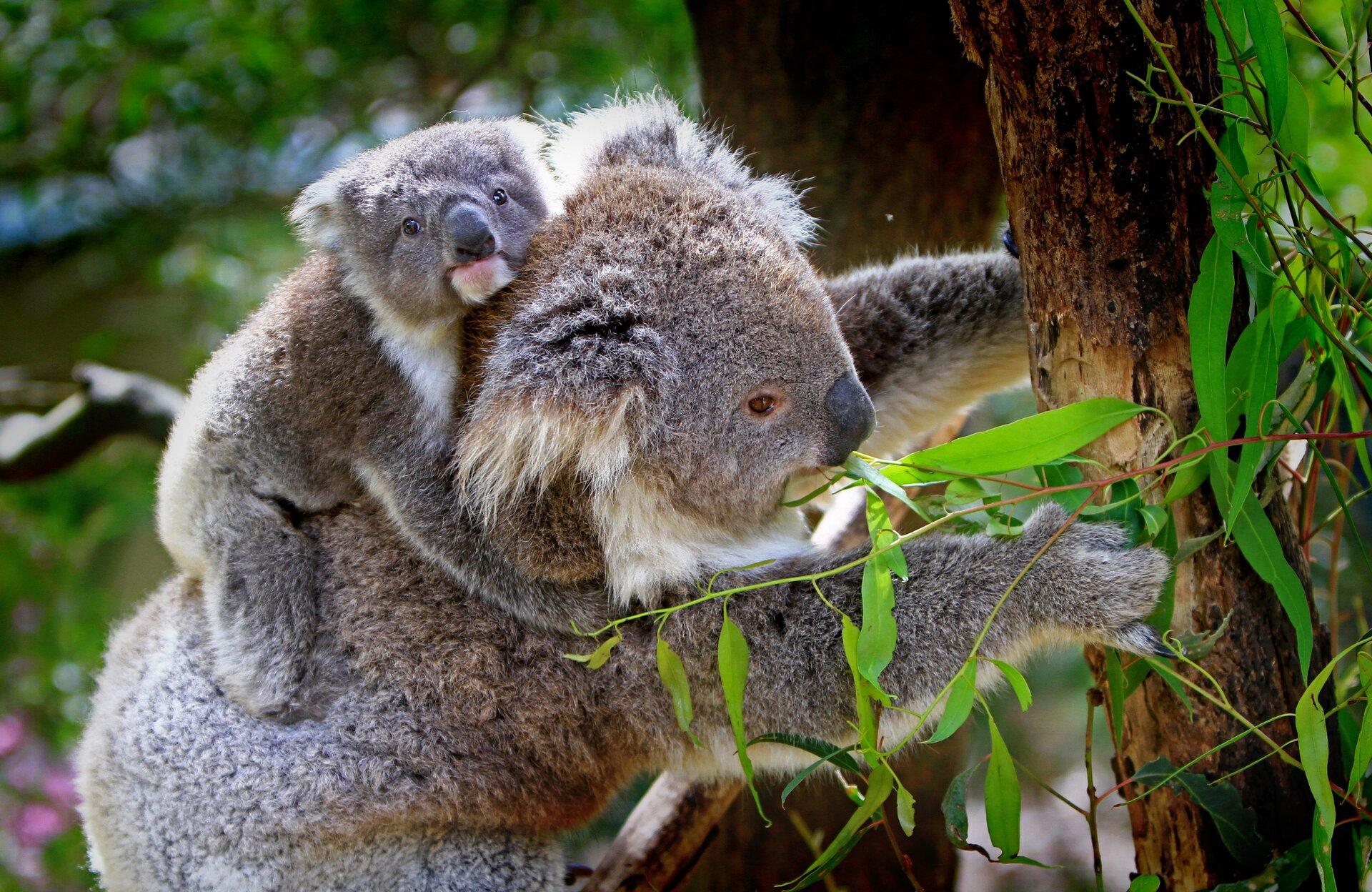 Fotografia przedstawia bokiem szarobrązowego koalę zmłodym na grzbiecie. Pysk trójkątny, wprawo, duży ciemny nos. Biała broda sięga uszu. Zwierzę przednimi łapami trzyma się pnia eukaliptusa, którego liście ma wpysku. Młode patrzy wstronę obserwatora, ma bardzo różowy pyszczek. Łapami obejmuje szyję itułów matki.