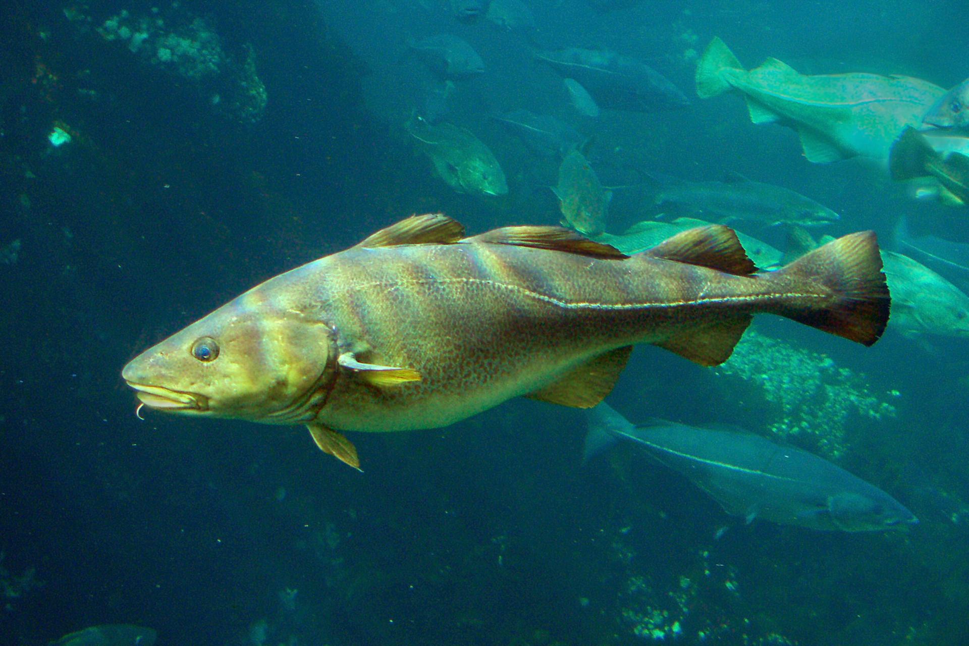 Zdjęcie dorsza. Ryba pływa wmorzu. Ma wydłużone, opływowe cialo. Na spodzie głowy znajduje się krótki wyrostek.