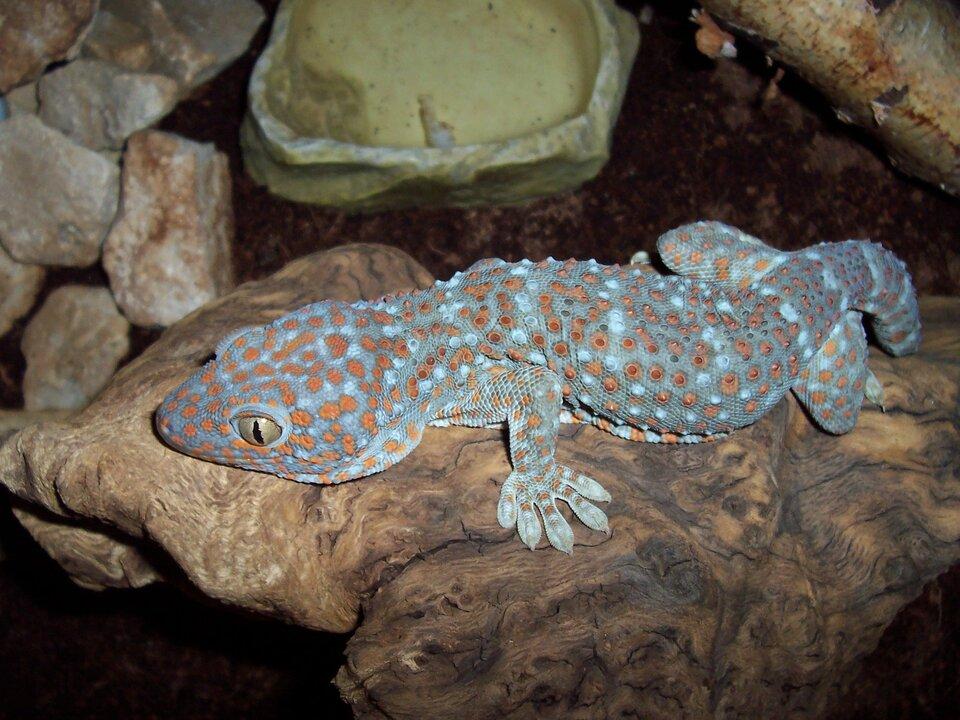 Fotografia prezentuje szarego gekona wpomarańczowe plamki siedzącego na kamieniu.