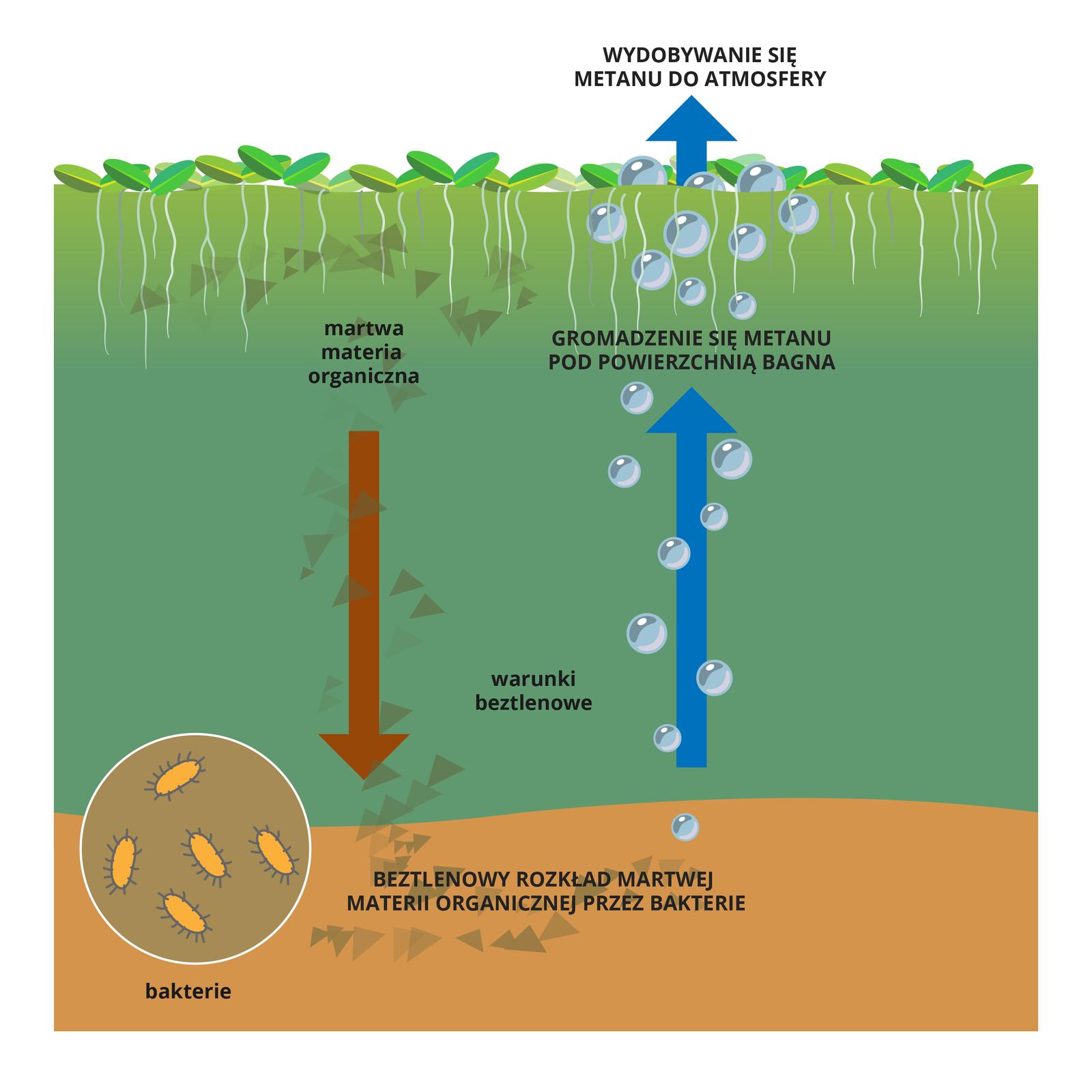 Ilustracja przedstawia schematycznie przekrój przez teren bagienny. Ugóry warstwa pokryta roślinami (rzęsą wodną). Niżej turkusowa warstwa wody, warunki beztlenowe. Na brązowe dno opadają martwe szczątki roślin zpowierzchni (czerwona strzałka). Bakterie, ukazane wpowiększeniu jako pomarańczowe orzęsione pałeczki, rozkładają szczątki, produkując gaz – metan. Wpostaci błękitnych kulek unosi się igromadzi pod powierzchnią wody (niebieska strzałka). Część gazu wydostaje się do atmosfery
