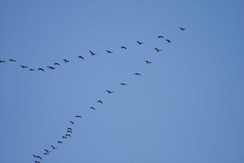 Zdjęcie przedstawia lecące ptaki. Na tle niebiskiego nieba widać ptaki lecące wkluczu. Klucz ptaków ma kształt trójkąta oostrym wierzchołku. Na samym początku klucza znajduje się jeden ptak. Za nim rozchodzą się dwa stopniowo oddalające się rzędy ptaków tworząc ramiona klucza. Najbliżej są ptaki znajdujące się blisko początku klucza. Najdalej od siebie są ptaki lecące wostatniej części klucza