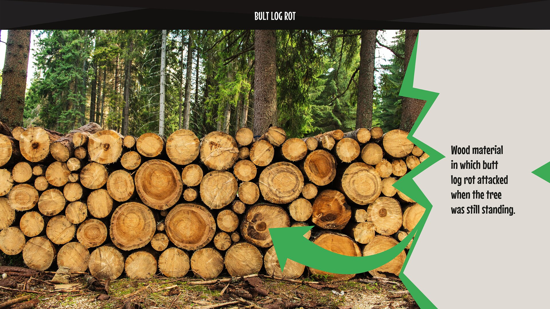 The photo presents wood material in which butt log rot attacked when the tree was still standing. Zdjęcie przedstawia surowiec drzewny, wktórym zgnilizna odziomkowa rozwinęła się jeszcze wstojącym drzewie.