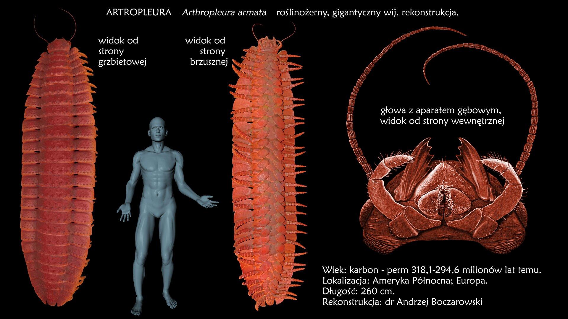 Rysunek przedstawiający wymarłe zwierzę zgrupy pierścienic – artropleurę. Po lewej stronie widać zwierzę od góry. Jest ustawione pionowo. Widać ciało podzielone wpoprzek na liczne segmenty. Spod każdego segmentu wystaje para odnóży. Na prawo od zwierzęcia znajduje się szara sylwetka dorosłego człowieka wcelu porównania wielkości. Na prawo od sylwetki człowieka znajduje się artropleura widoczna od spodu. Widać, że zkażdego segmentu wyrasta po jednej parze odnóży oraz skrzela przypominające wyglądem pióra. Zprawej strony ilustracji widać przednią część ciała zwierzęcia. Znajdują się na niej długie wyrostki oraz czarne plamki, są to oczy.