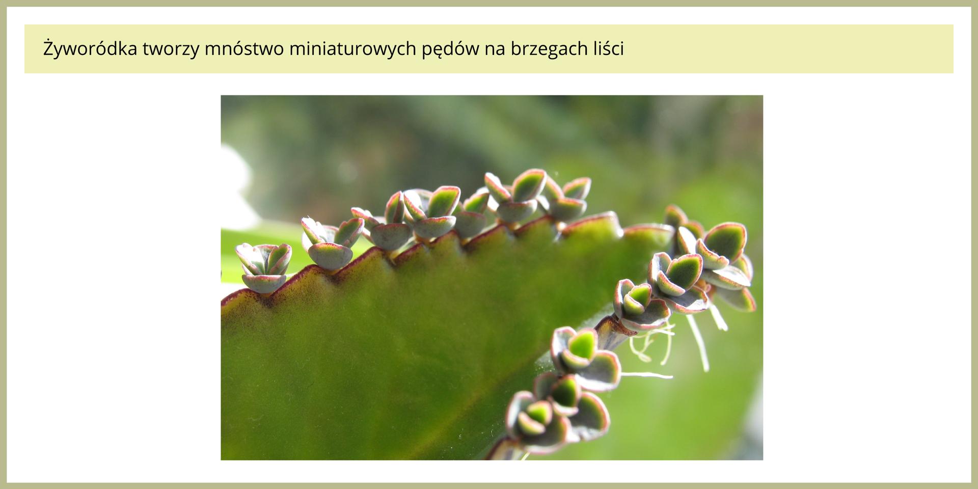 Fotografia przedstawia fragment liścia rośliny , zwanej żyworódką. Na krawędzi liścia znajduje się kilkanaście małych roślin potomnych. Każdy ma kilka listków iniewielkie korzonki. Nazywamy to rozmnażaniem przez rozmnóżki.