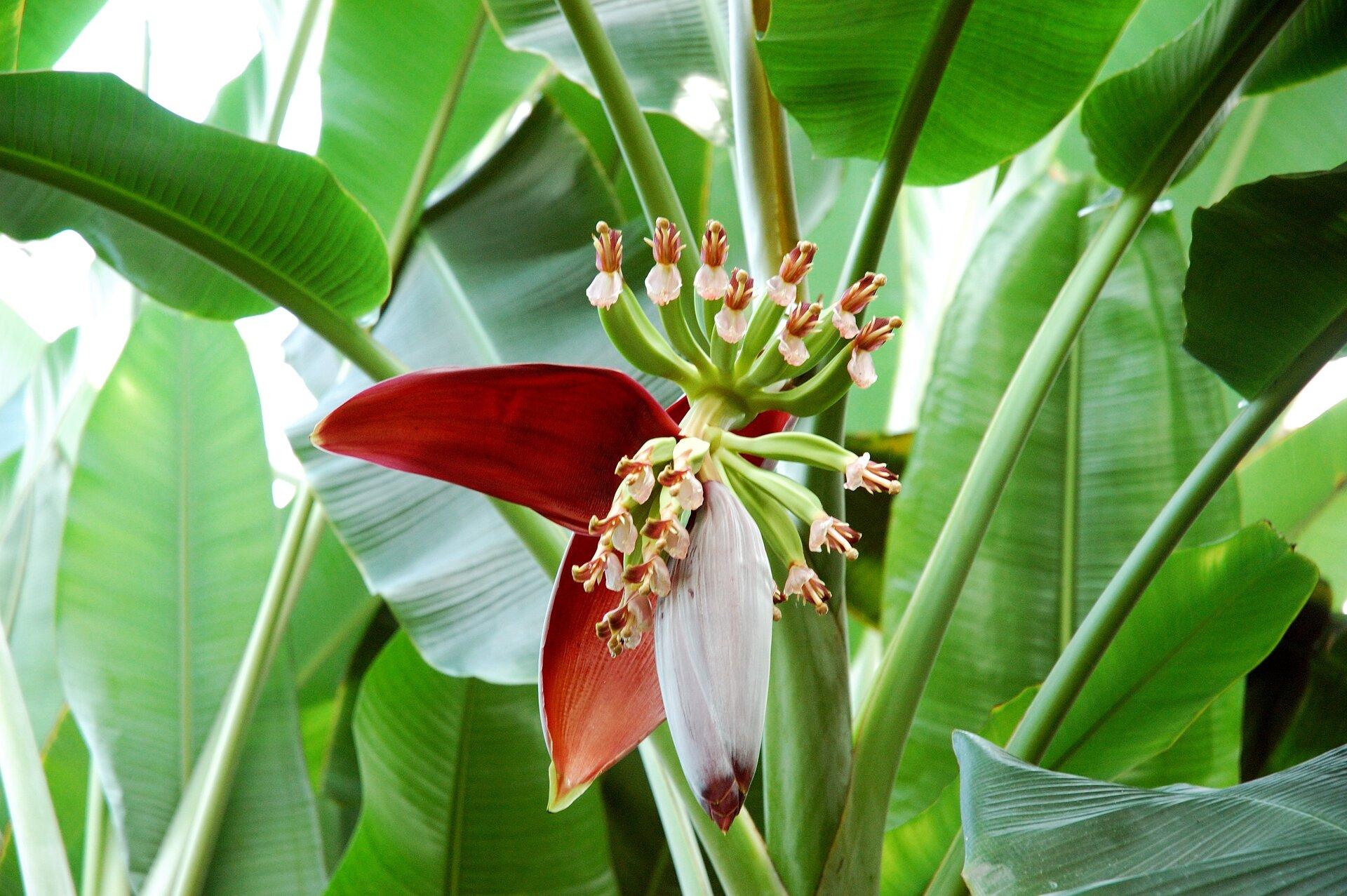 Fotografia druga prezentuje kwitnącego bananowca. Na środku fotografii widoczny kwiatostan osłonięty czerwonymi ibiałymi płatkami. Wtle szerokie zielone liście bananowca.