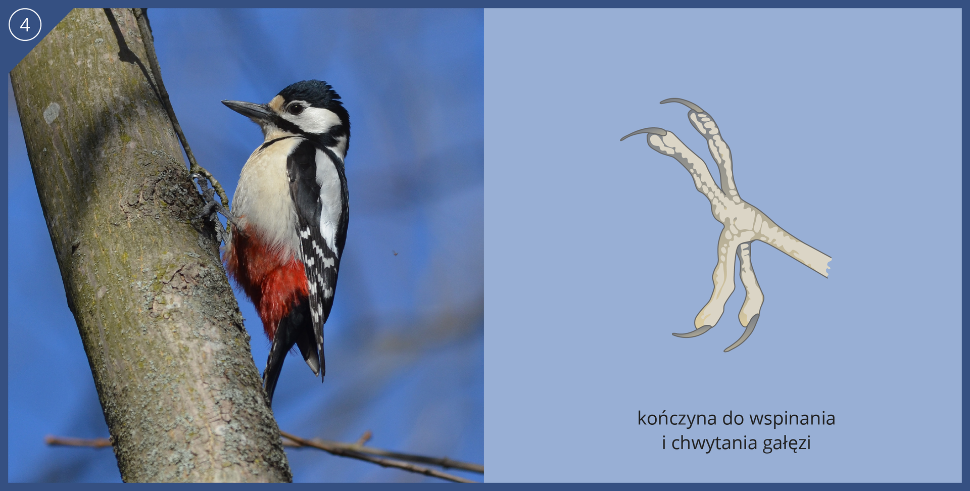 Fotografia przedstawia dzięcioła, siedzącego głową wgórę na ukośnym pniu. Czarno – biały ptak ma czerwony kuper ipodpiera się ogonem. Dziób prosty, mocny. Palcami trzyma się pnia. Ilustracja przedstawia kończynę do wspinania ichwytania gałęzi. Biała noga ma cztery palce równej długości, zdługimi, zakrzywionymi pazurami. Dwa palce skierowane wgórę, dwa wdół.
