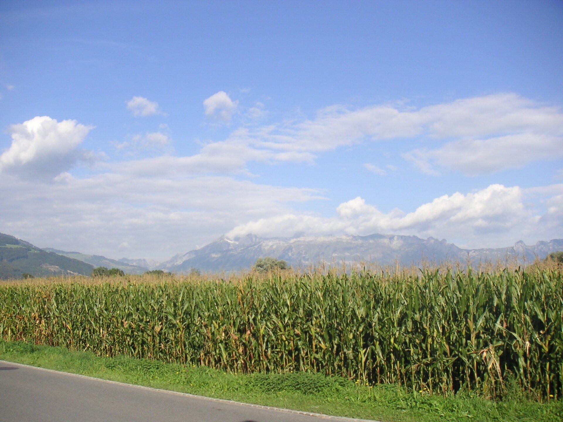 Zdjęcie przedstawia olbrzymie pole kukurydzy. Na pierwszym planie zielone gęsto rosnące pędy kukurydzy na polu wzdłuż asfaltowej drogi. Za polem kukurydzy, woddali, wysokie góry. Szare skaliste stoki. Szczyty gór pokryte śniegiem. Nad górami białe kłębiaste chmury. Niebo błękitne.