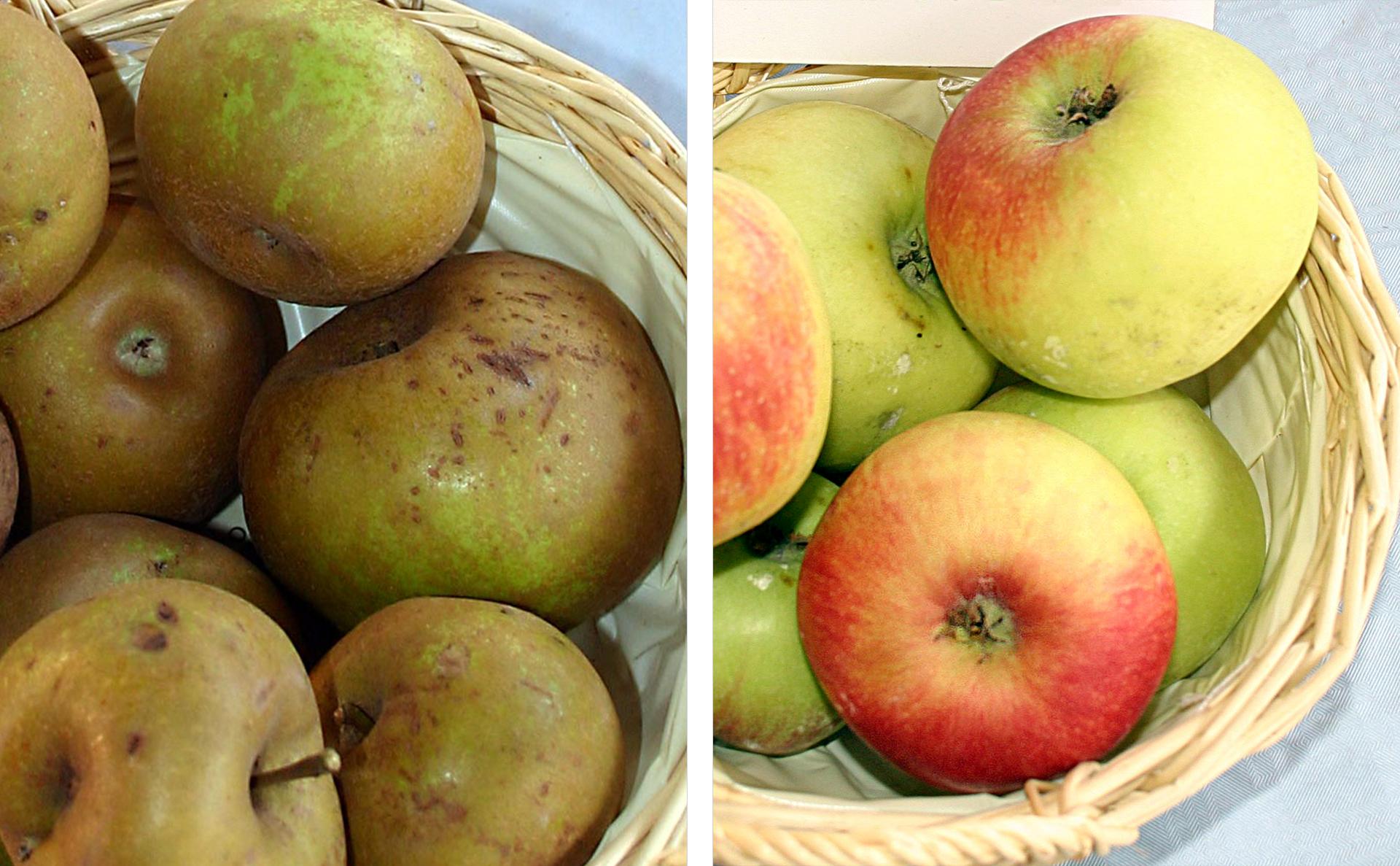 Fotografie przedstawiają dwie stare odmiany jabłek wkoszykach. Zlewej Szara Reneta ociemnej skórce zlicznymi brązowymi przebarwieniami. Zprawej jabłka odmiany Książę Albrecht, zielono żółte zczerwonym rumieńcem.