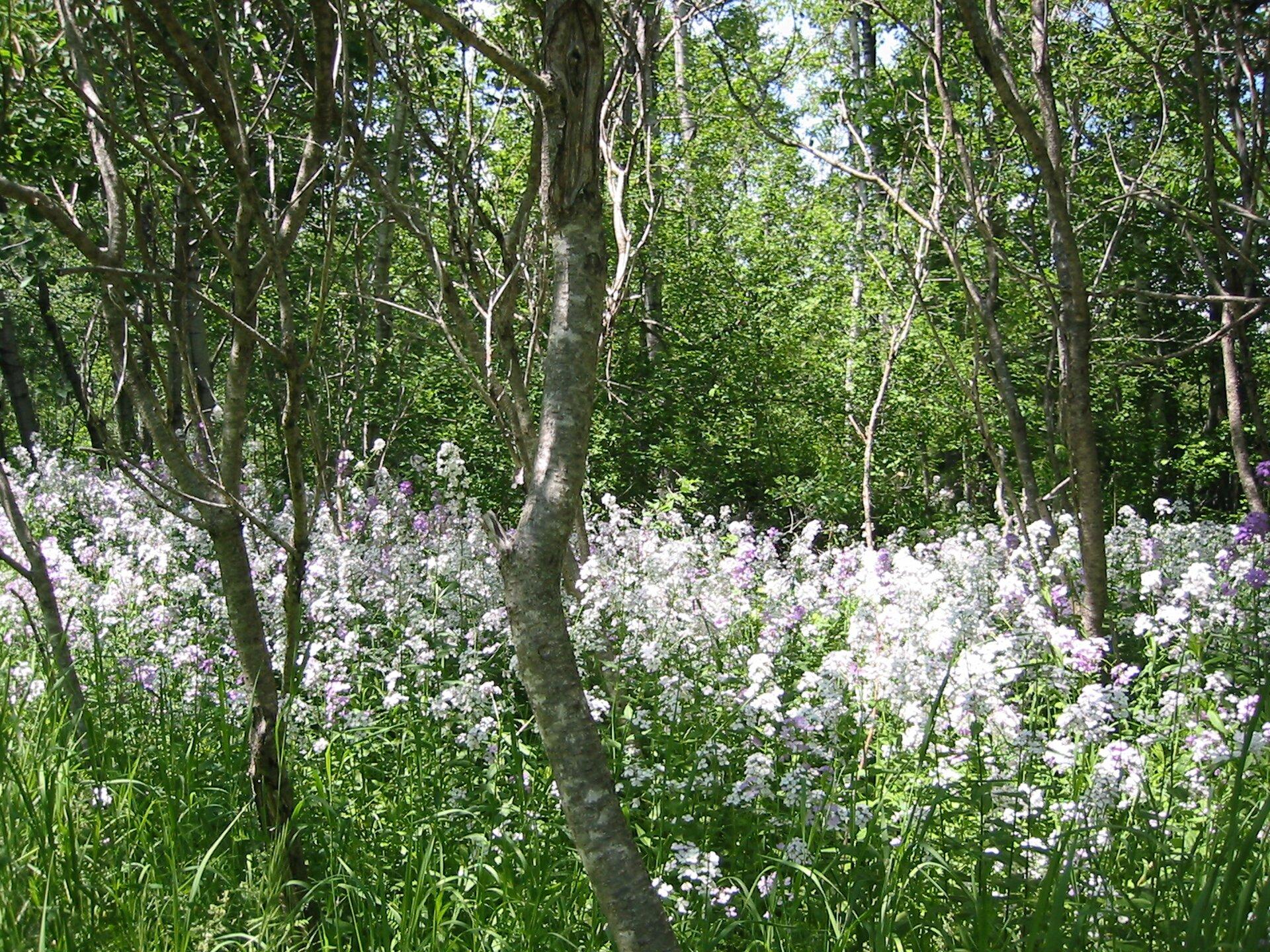 Fotografia przedstawia wnętrze lasu liściastego. Rosną wnim niewielkie drzewa ocienkich pniach ibiało kwitnące, wysokie rośliny zielne.