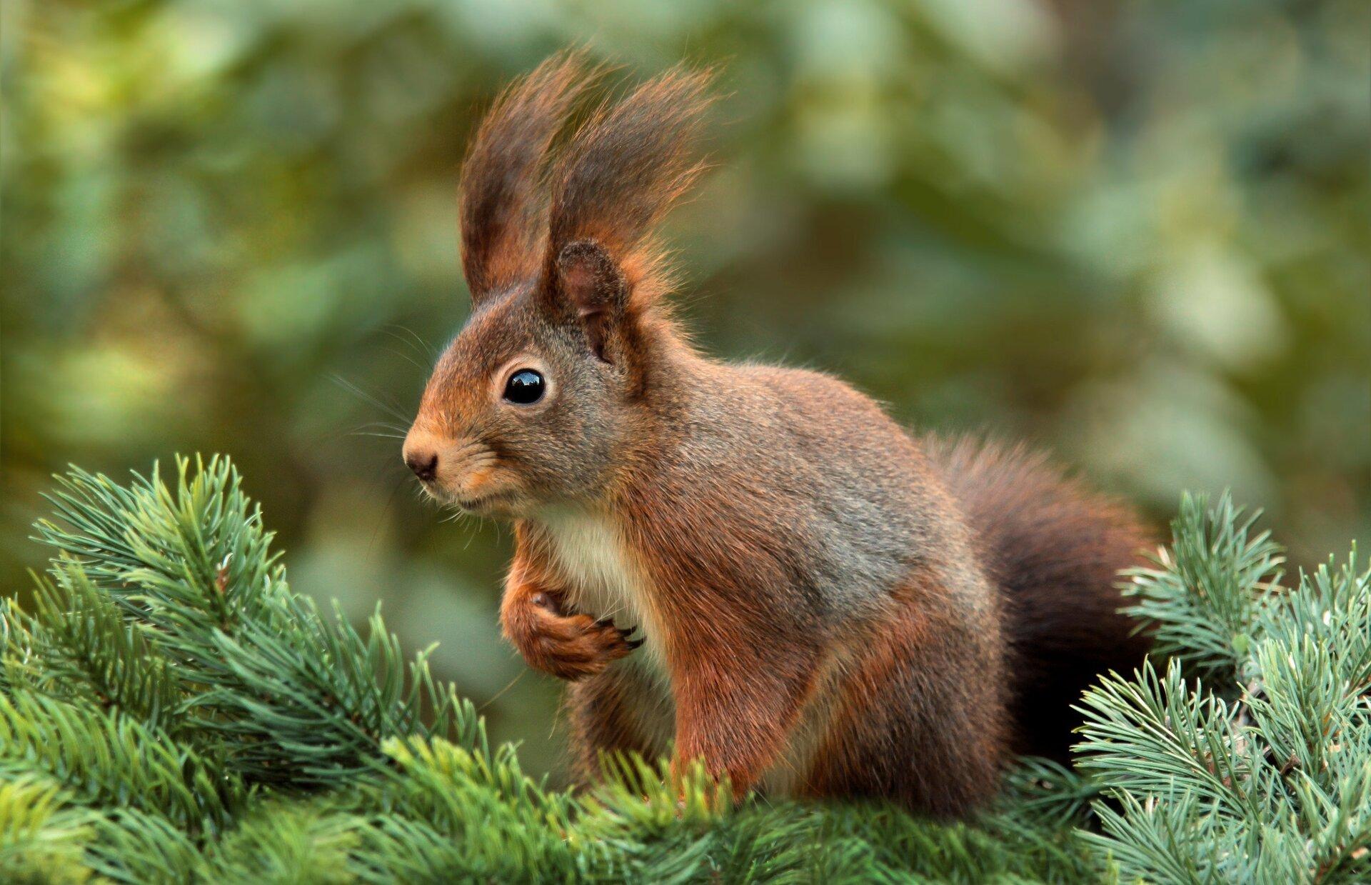 wiewióra na drzewie Źródło: licencja: CC 0.