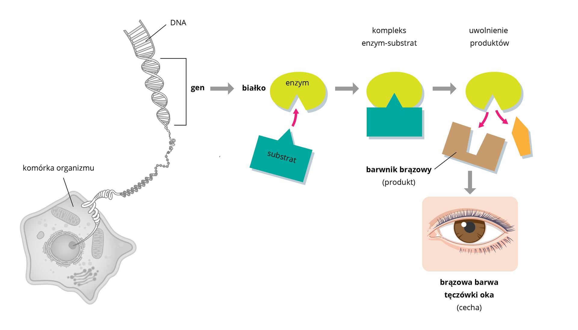 Ilustracja schematycznie przedstawia związek między DNA abarwą tęczówki. Na DNA zaznaczono gen, który koduje białko będące enzymem potrzebnym do wytworzenia melaniny. Enzym przyłącza substrat. Powstaje produkt, którym jest melanina warunkująca brązową barwę oka.