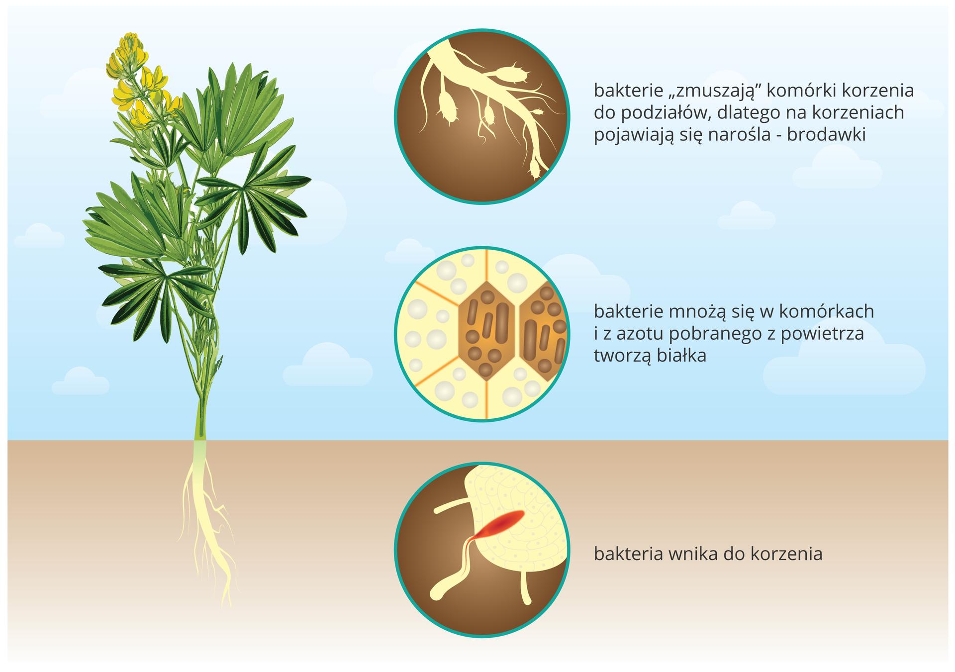 Ilustracja przedstawia po lewej roślinę łubinu zzielonymi liśćmi, żółtymi kwiatami ibiałymi korzeniami. Po prawej wpionie są trzy koła zopisami. Ugóry na brązowym tle narysowano biały fragment korzenia ze zgrubieniami. Są to tak zwane brodawki, wktórych żyją bakterie. Środkowe koło przedstawia wielokątne, pomarańczowe komórki korzenia, wdwóch znich znajdują się szaro brązowe bakterie brodawkowe. Pobierają one azot zpowietrza ibudują zniego białka. Dolne kółko przedstawia na brązowym tle biały fragment korzenia, do którego wnika czerwona, podłużna bakteria