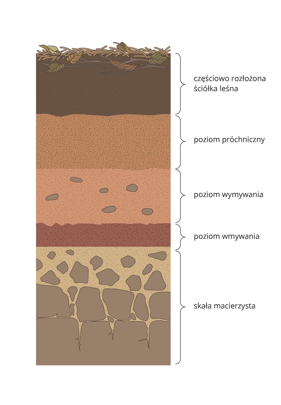 Ilustracja prezentuje przekrój profilu glebowego, na którym od dołu widać kolejno warstwy: skała macierzysta, poziom wmywania, poziom wymywania, poziom próchnicy, częściowo rozłożona ściółka leśna.