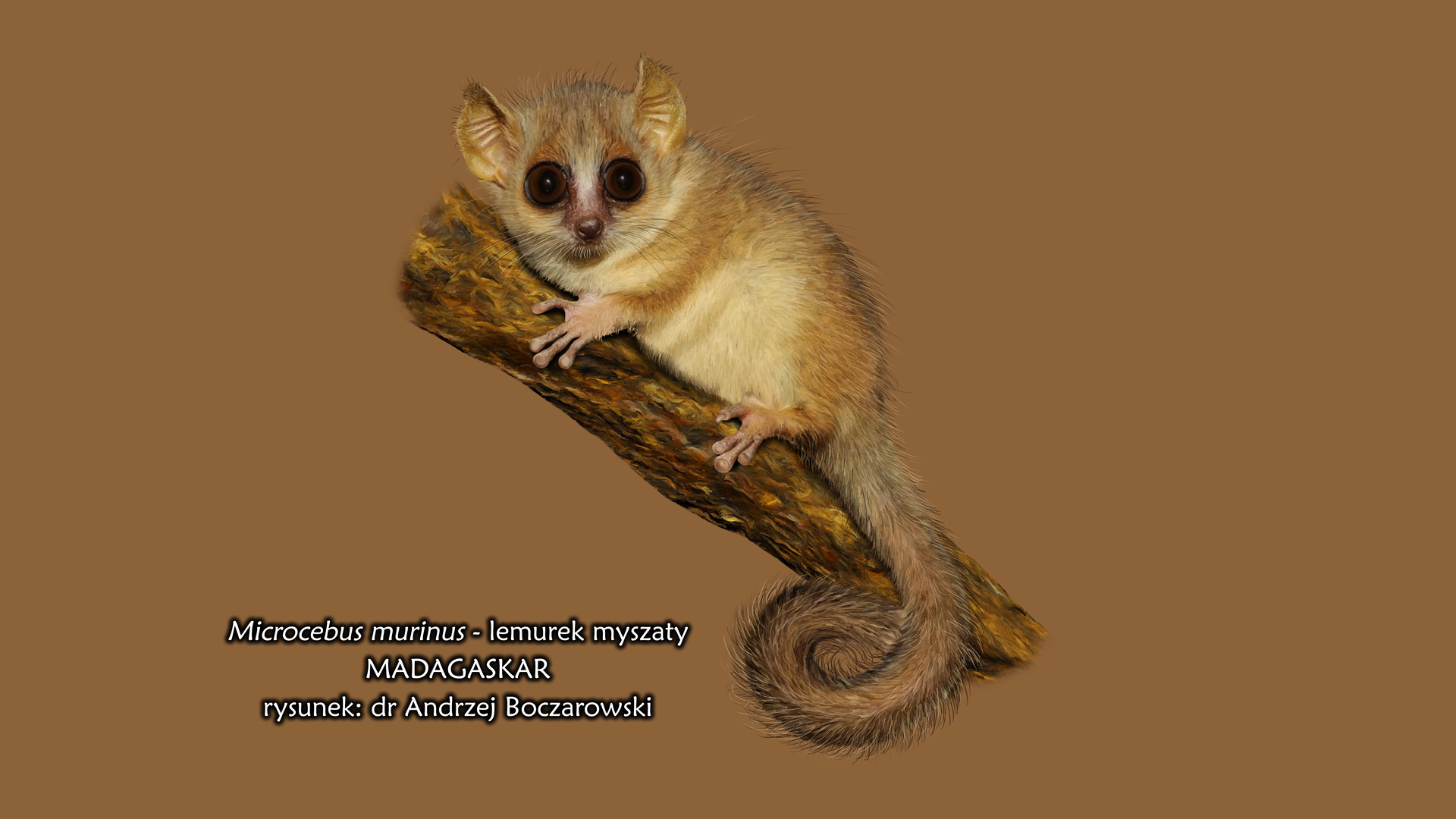 Fotografia lemurka myszatego siedzącego na pniu. Lemurek ma duże oczy, długi ogon ijasnobrązowe umaszczenie.