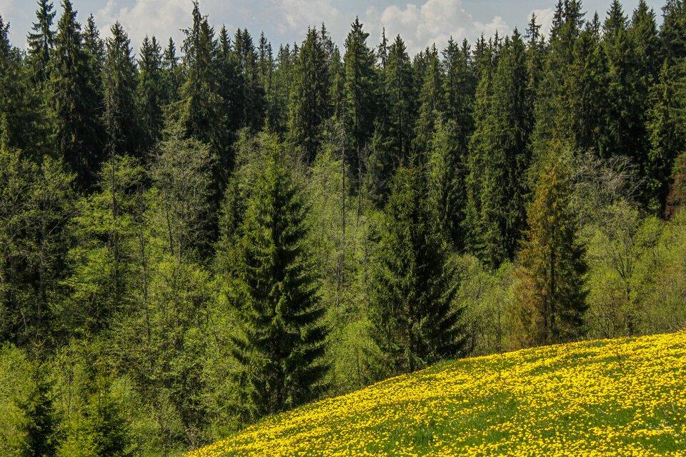 Galeria zdjęć prezentuje lasy występujące wPolsce. Na pierwszym zdjęciu widoczny las iglasty zlicznymi rosnącymi gęsto świerkami otrójkątnej koronie drzewa.