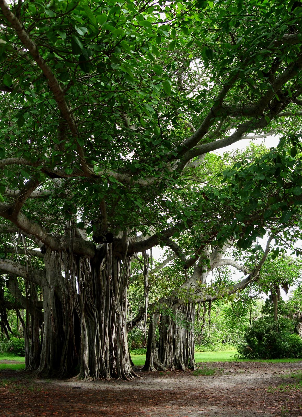 Fotografia przedstawia dwa drzewa ogęstym, ciemnozielonym ulistnieniu. Zkonarów zwisają długie, cienkie korzenie oddechowe. To drzewa kalwaryjskie.