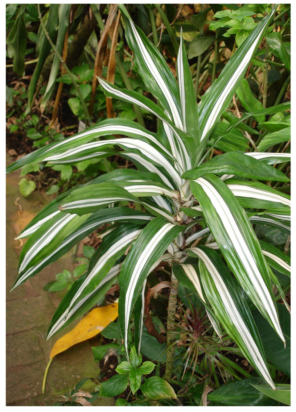 Galeria fotografii trujących roślin: Dracena