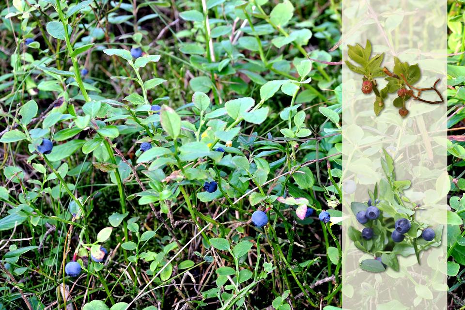 Fotografia przedstawia niskie krzewinki borówki czarnej wlesie. Na ich gałązkach znajdują się ciemnoniebieskie, kuliste owoce - jagody. Po prawej nałożony jaśniejszy pasek zfotografiami. Ugóry gałązka zżółto zielonymi listkami iróżowymi kwiatami. Poniżej gałązka zliśćmi iniebieskimi owocami.