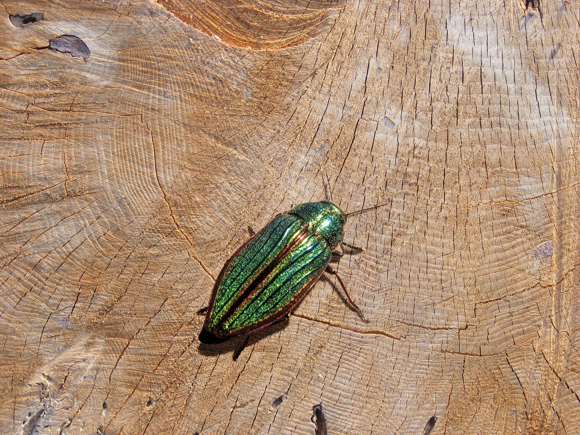 Fotografia przedstawia zbliżenie zielono mieniącego się owada na ściętym pniu. To niewielki chrząszcz bogatek wspaniały.