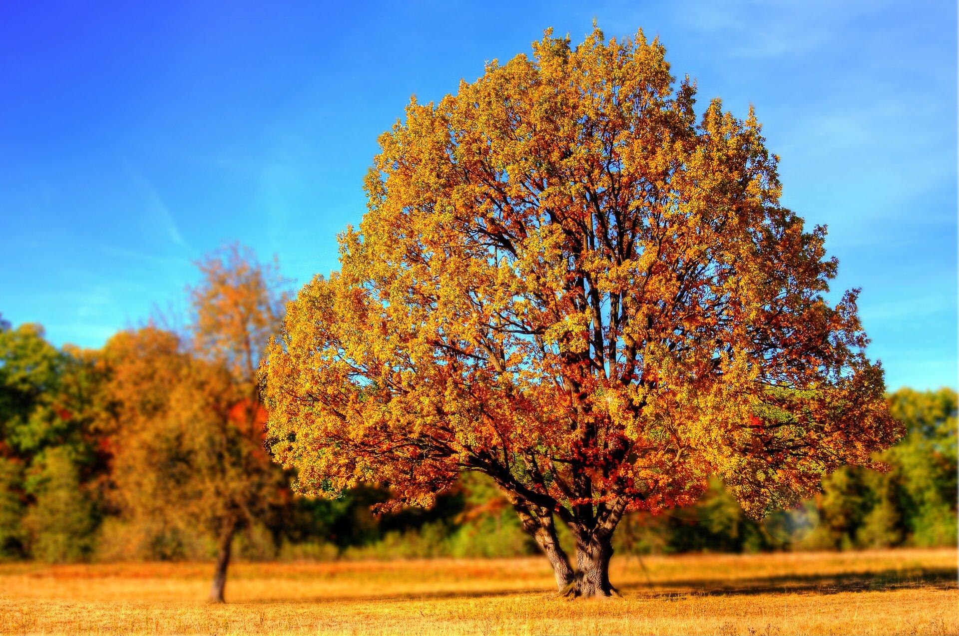 Fotografia prezentuje drzewa liściaste jesienią. Na pierwszym planie duże, rozłożyste, samotne drzewo zżółtymi, brązowymi izielonymi liśćmi. Wtle widoczne drzewa liściaste wpodobnych kolorach.