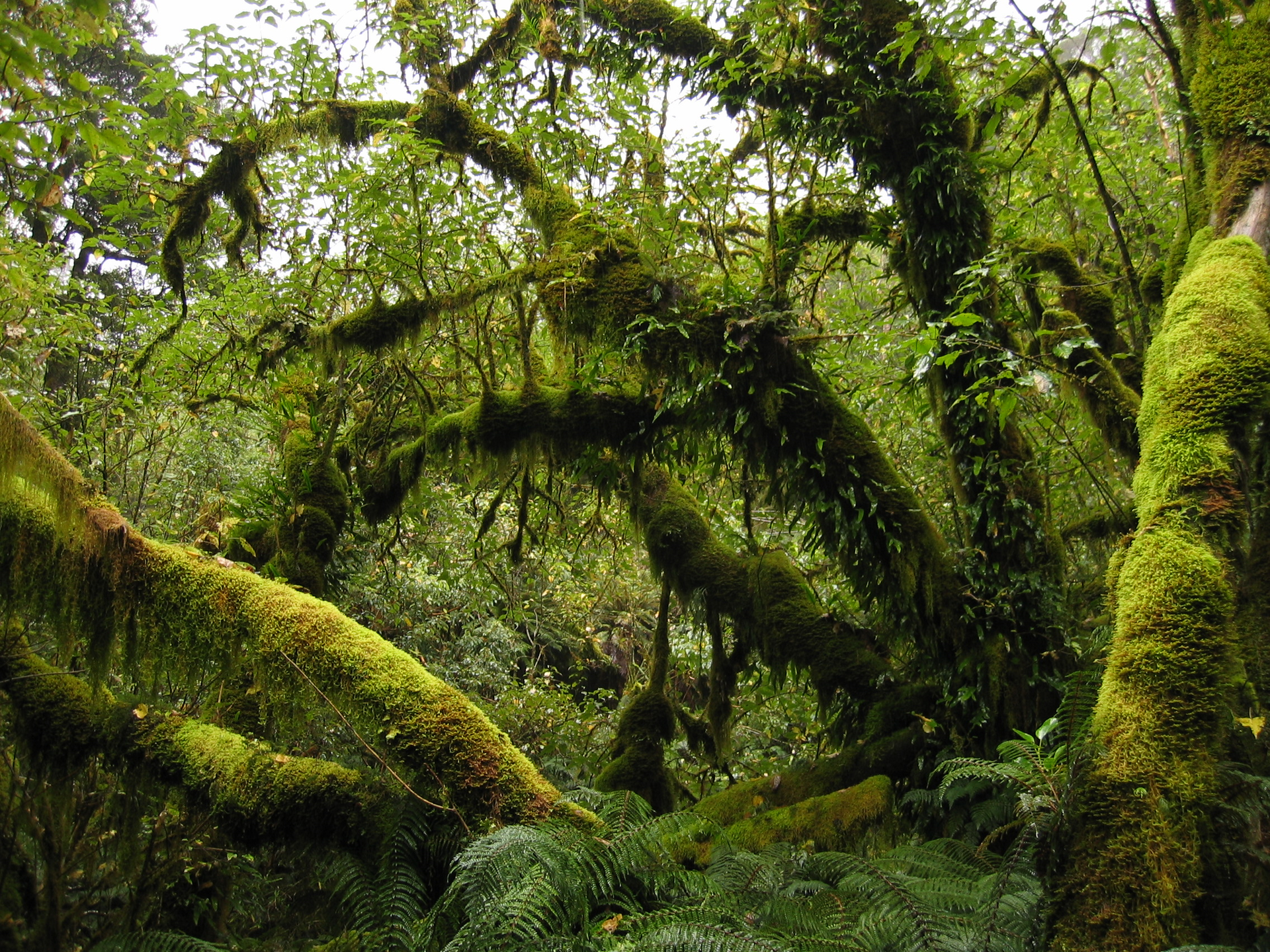 Fotografia przedstawia wnętrze tropikalnego lasu wróżnych odcieniach zieleni. Wygięte pnie są grubo obrośnięte mchem. Gdzieniegdzie wystają spod niego liście. Mech zwisa też zgałęzi drzew. Poniżej rosną paprocie.
