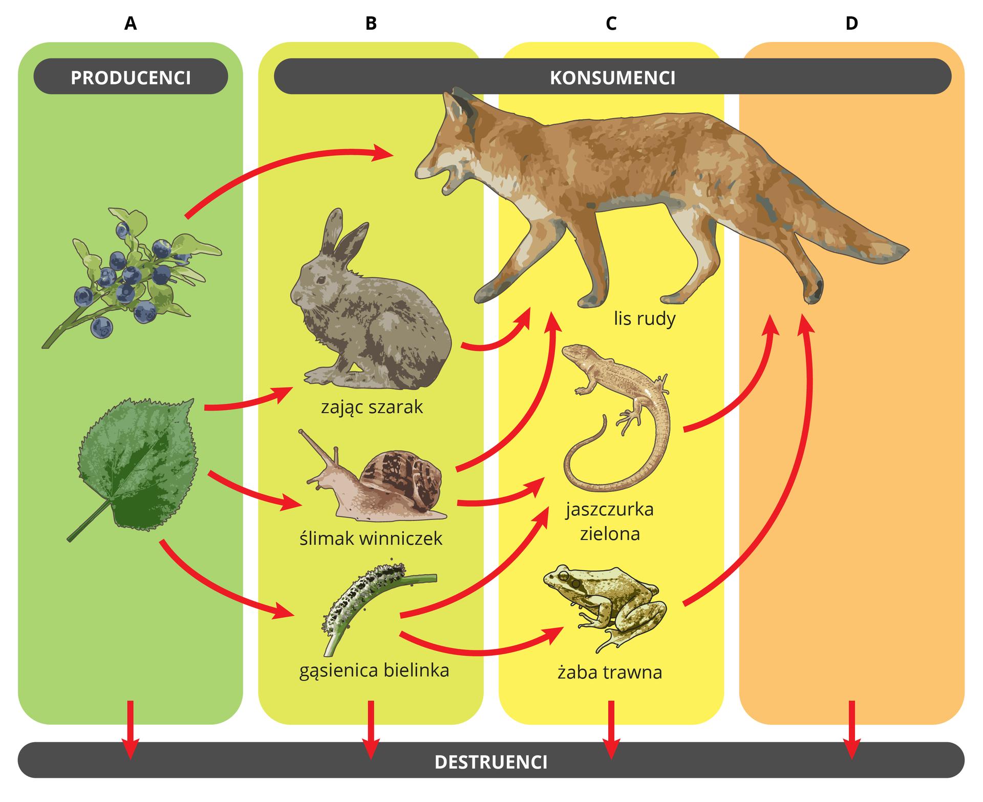 Ilustracja prezdstawia 4 poziomy troficzne wsadzie. producencji: drzewo, liśc, jabłko; roślinożercy: gąsienica, ślimak, zając; drapieżniki: kret, jaszczurka, lis. Na dole destruenci.