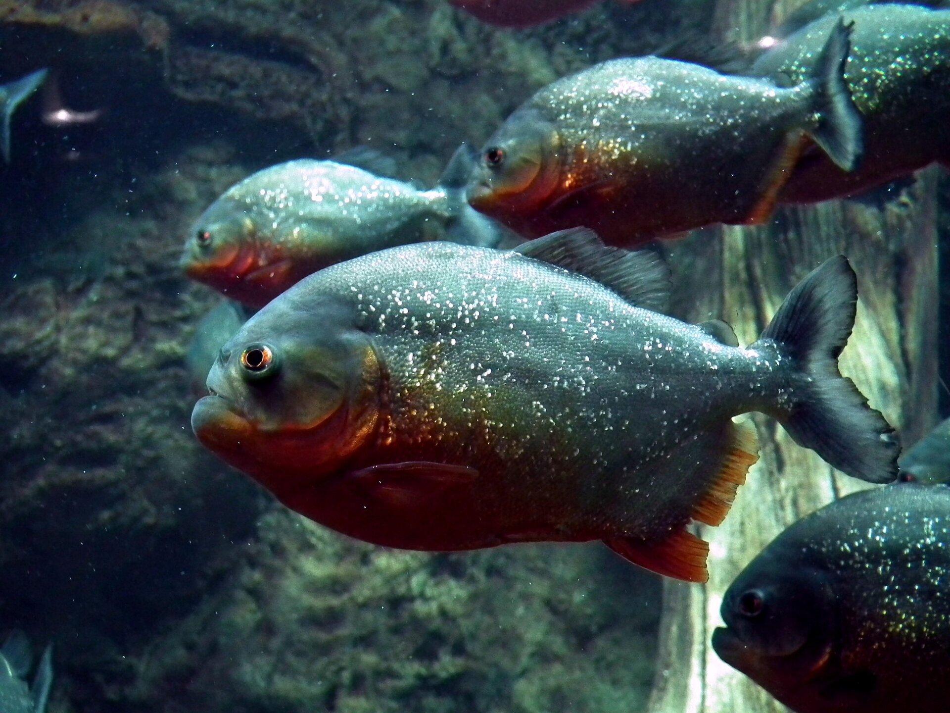 Fotografia grupy piranii. Pirania to ryba ociele owalnym zboku, silnie spłaszczonym bocznie. Ubarwienie szaroniebieskie zsrebrzystymi plamkami. Od spodu rdzawo-pomarańczowe. Płetwy niewielkie. Szczęki są silne, wyposażone wdrobne zęby.