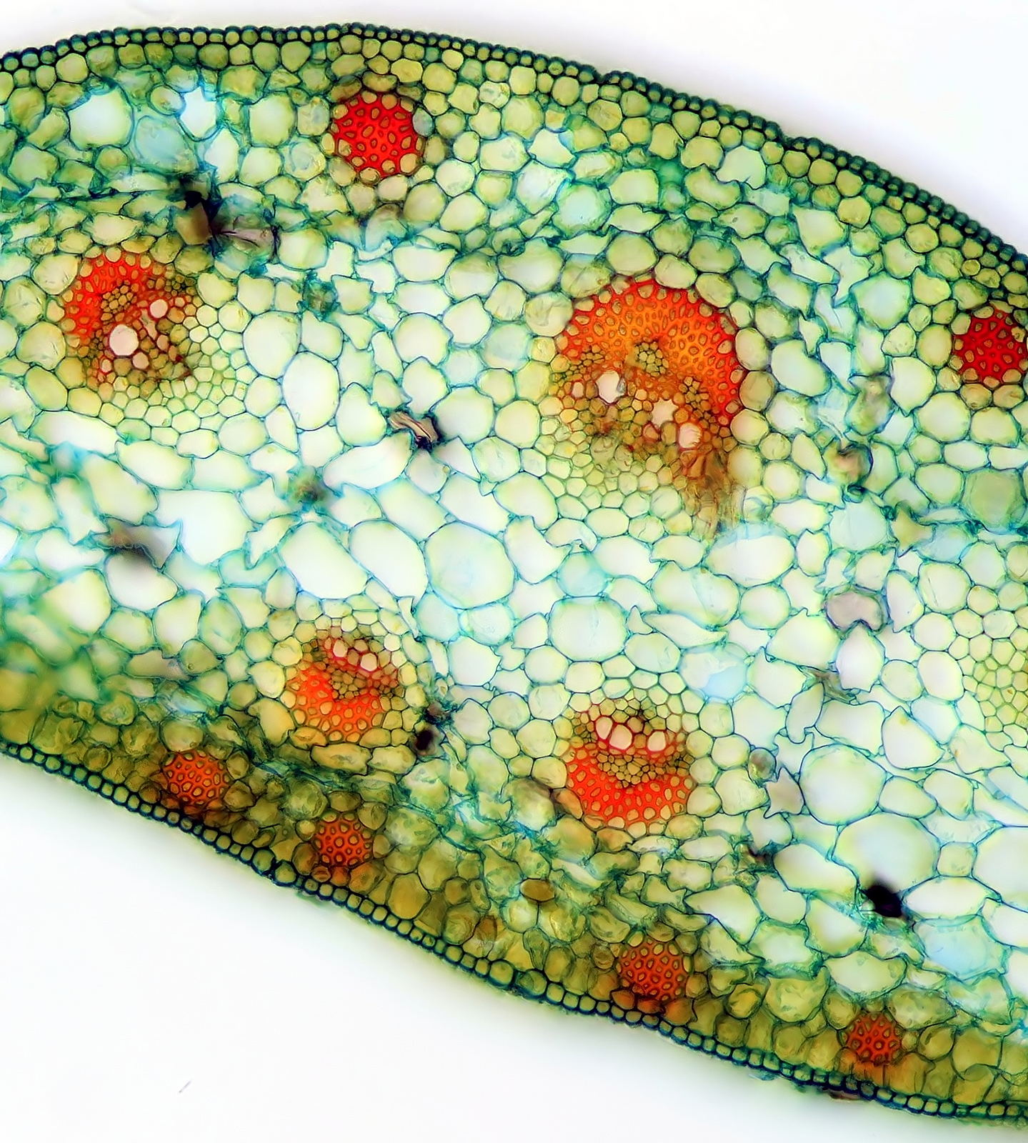 Mikrofotografia przedstawia fragment prekroju poprzecznego łodygi. Przypadkowo rozmieszczone wiązki przewodzące.