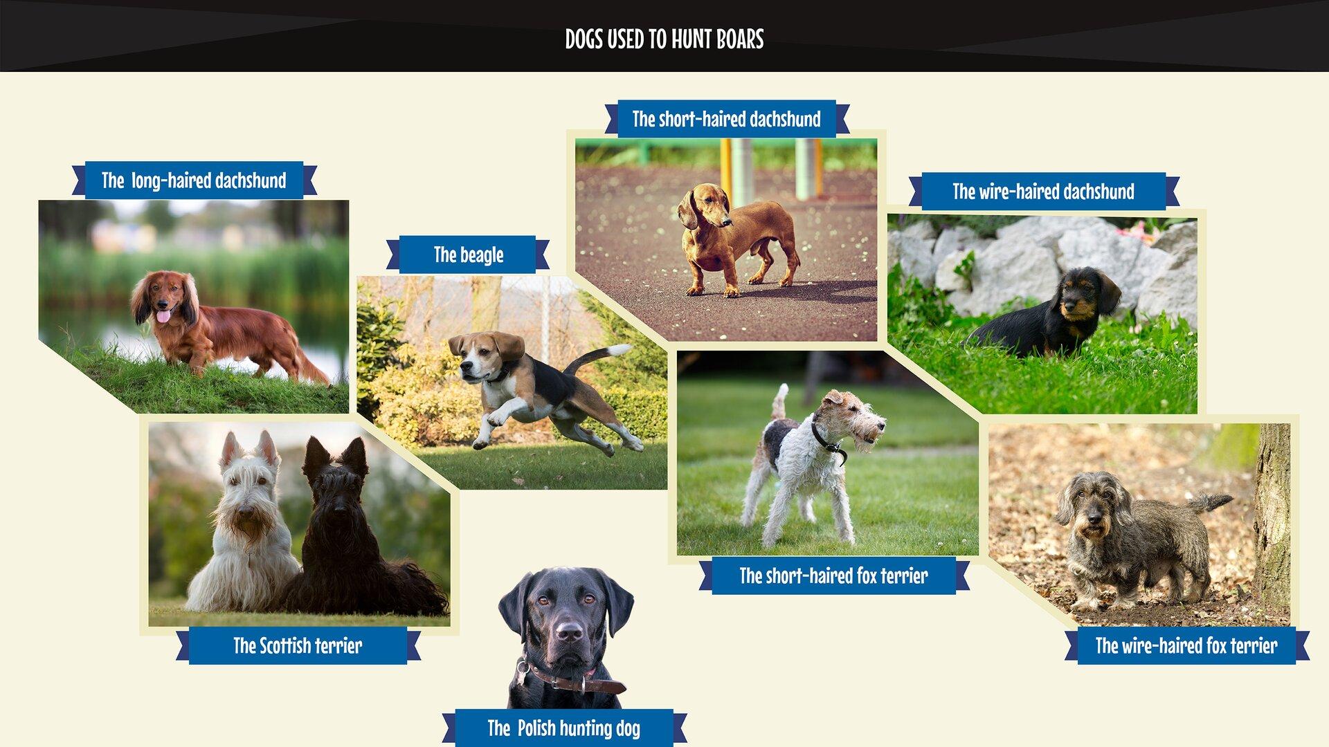 The photo collage presents dog breeds belonging to the category of boarhounds: beagles, the Polish hunting dog, the short-haired dachshund, the long-haired dachshund, the wire-haired dachshund, the short-haired fox terrier, the wire-haired fox terrier and the Scottish terrier. Kolaż zdjęć przedstawia rasy psów – dzikarzy: beagle, gończy polski, jamnik krótkowłosy, jamnik długowłosy, jamnik szorstkowłosy, foksterier krótkowłosy, foksterier szorstkowłosy, terier szkocki.