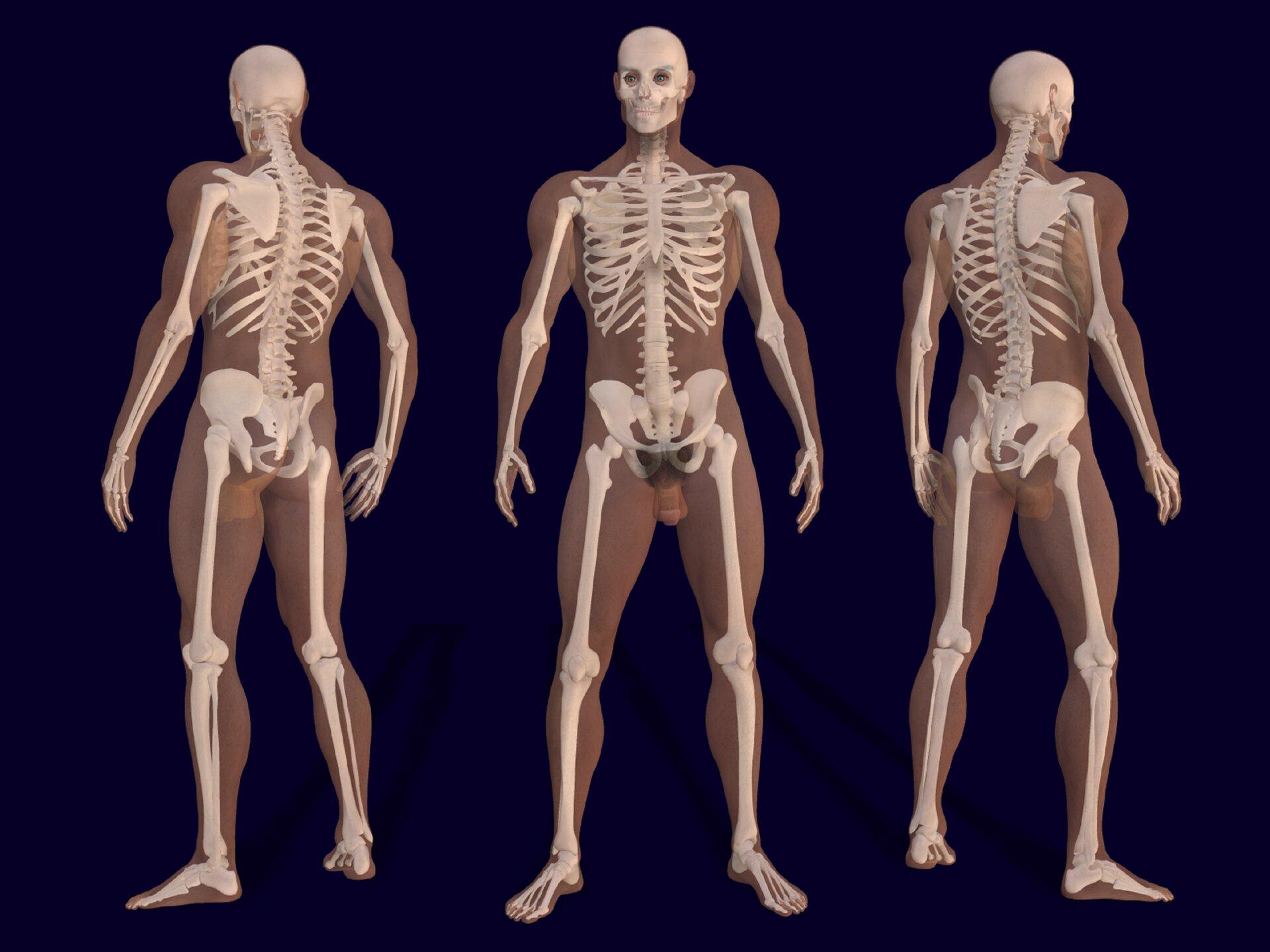 Schemat przedstawia męski szkielet