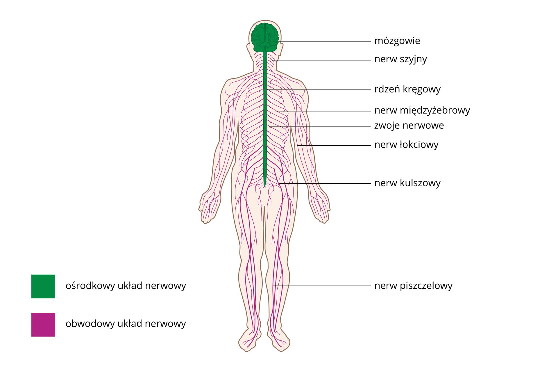 Ilustracja przedstawia sylwetkę człowieka zwrysowanym układem nerwowym, kolorem zielonym oznaczono ośrodkowy układ nerwowy, kolorem różowym obwodowy układ nerwowy. Niektóre nerwy obwodowe zostały podpisane zprawej. Od góry pod mózgowiem: szyjny, międzyżebrowy, łokciowy, kulszowy, piszczelowy.