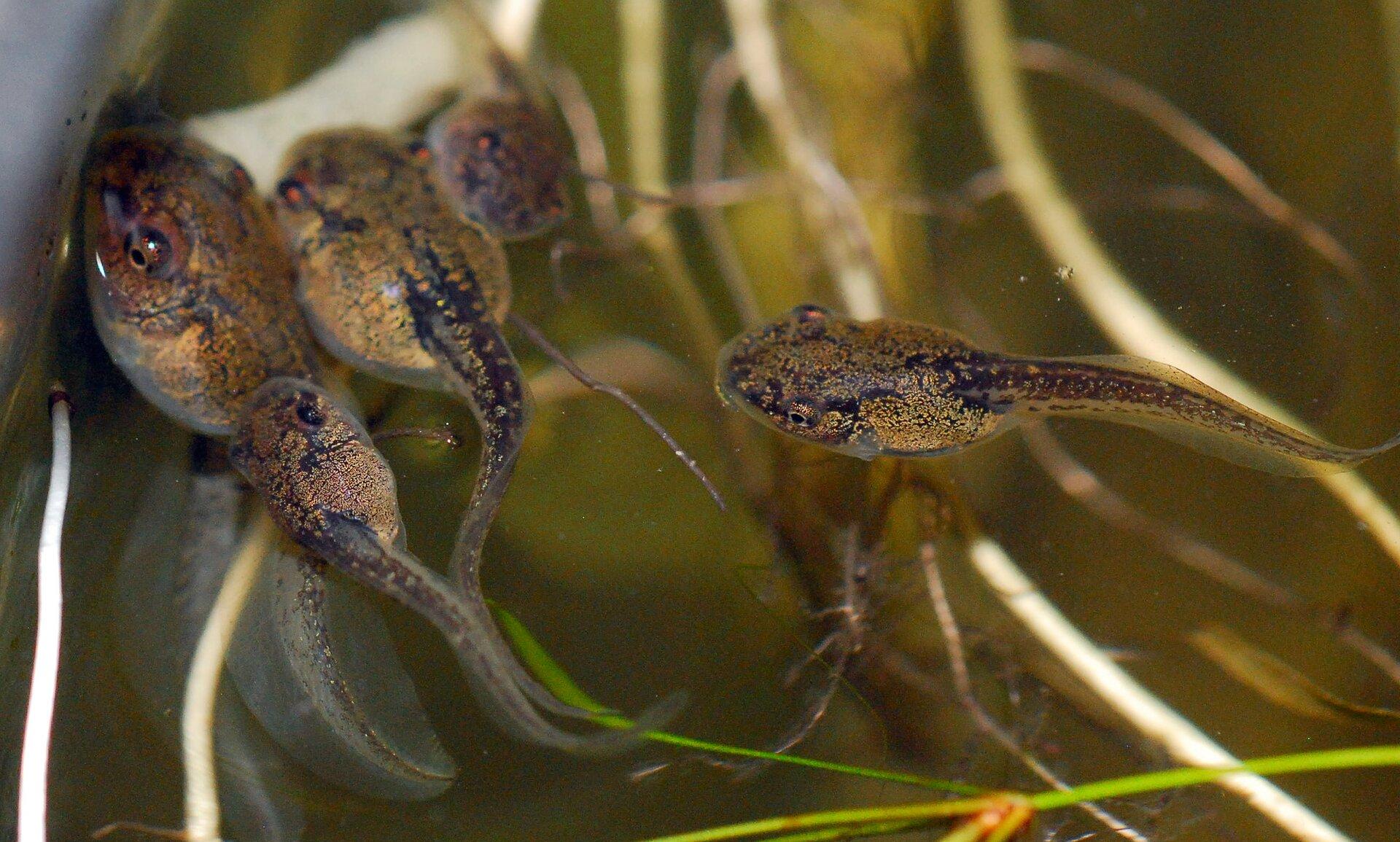 Fotografia kijanek pływających wwodzie. Każda kijanka ma jajowate ciało barwy zielonej zlicznymi czarnymi kropkami. Ztyłu ciała znajduje się długi iwąski ogon. Wzdłuż górnej idolnej strony ogona znajduje się przezroczysta płetwa.