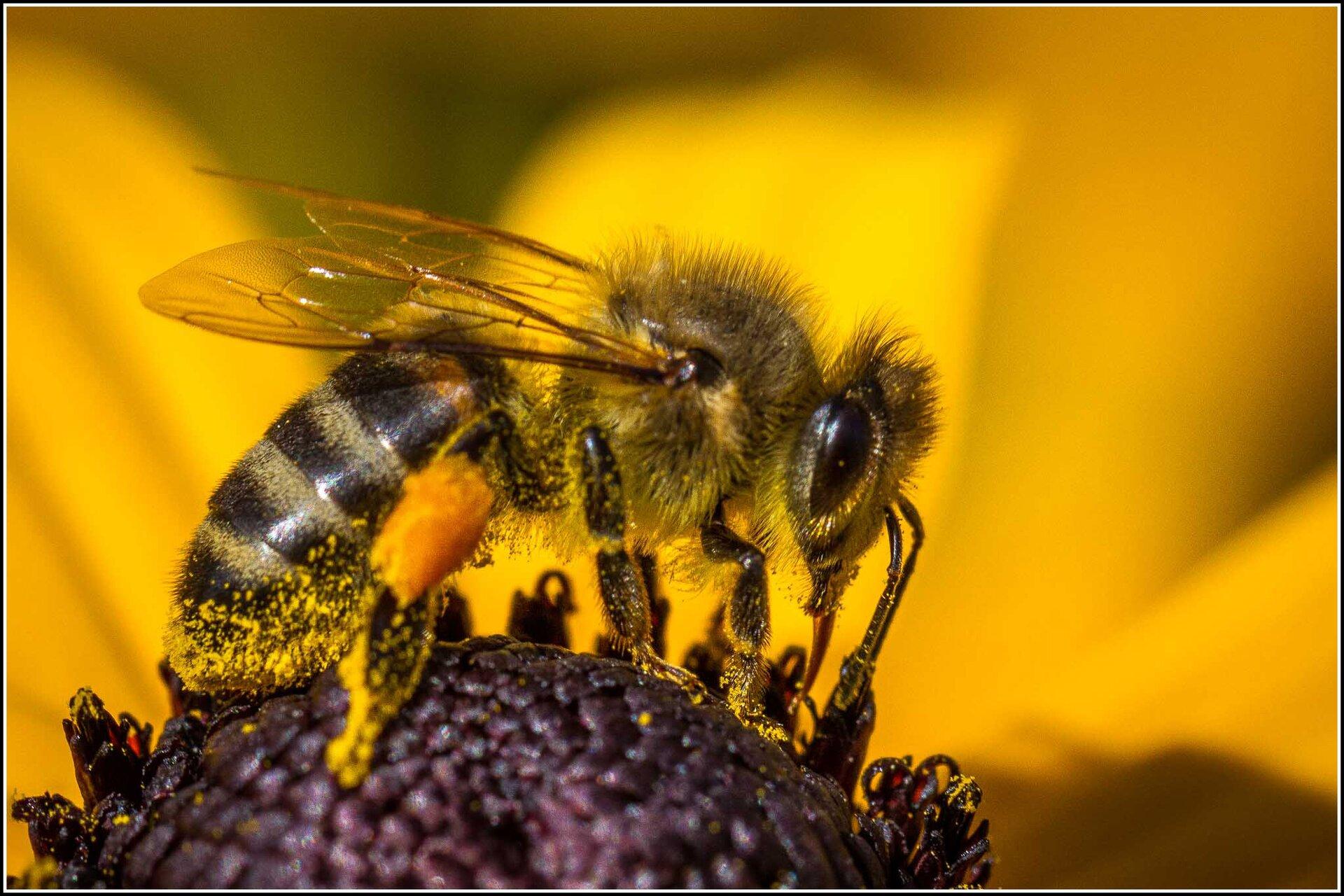 Fotografia prezentuje pszczołę miodną zbierającą nektar zżółtego kwiatu, na którymi siedzi. Na trzeciej parze nóg pszczoły widoczne, żółte koszyczki zgromadzonego pyłku oraz na odwłoku..